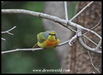 Orange-breasted Bushshrike