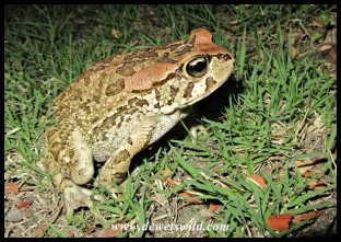 Raucous Toad