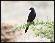 Red-winged Starling (male)