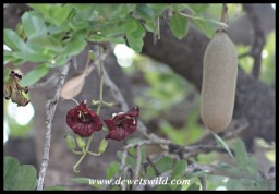Sausage-Tree blossoms and fruit