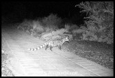 Small-spotted Genet outside our cottage at Karoo National Park (cameratrap photo)