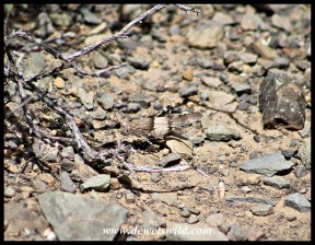 Well camouflaged grasshopper, presumably from the genus Sphingonatus
