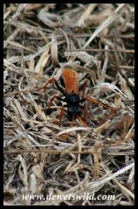 Spider-hunting Wasp (Tachypompilus ignitus)