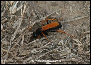 Spider-hunting Wasp (Tachypompilus ignitus) photographed by Joubert