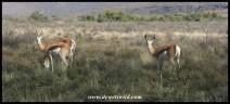 Springbok (photo by Joubert)