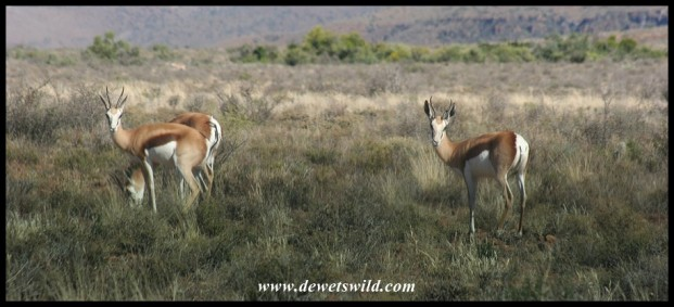 Springbok (photo by Joubert)