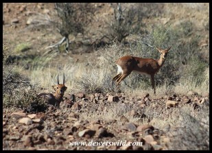 Steenbok pair