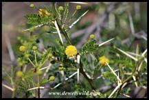 Sweet Thorn flowers, leaves and thorns