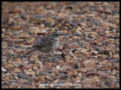 An as yet unidentified mystery bird sitting in the road