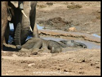 Baby elephants playing in the mud (photo by Joubert)