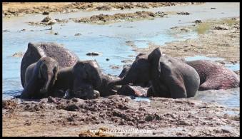 Whole group of elephants enjoying the muddy water!