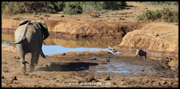 Elephant mock-charging a nervous warthog at Marion Baree waterhole