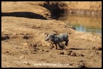 Warthog fleeing!