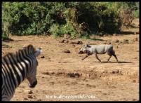 Warthog fleeing while a bemused zebra looks on