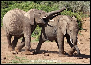 Rowdy elephant youngsters
