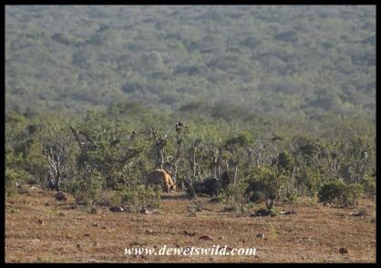 Spotted Hyenas feeding far into the veld