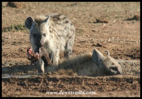 Youngster lending a hoof (photo by Joubert)