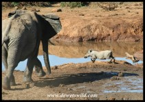 Elephant mock-charging a nervous warthog at Marion Baree waterhole (photo by Joubert)