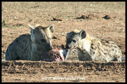 Time to fight about who gets the lion's share (photo by Joubert)
