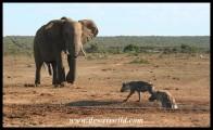 Elephant locked onto target! (photo by Joubert)
