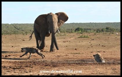 Elephant locked onto target!(photo by Joubert)