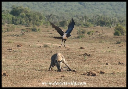 But now the crows want to join in (photo by Joubert)