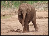 Baby Elephant tantrum!