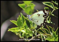 African Common White