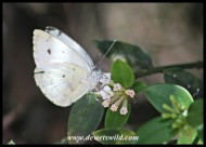 African Small White butterfly on Karoo Num-num flowers