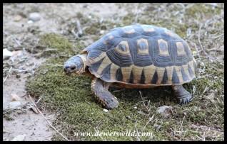 Angulate Tortoise