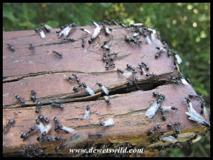 Ants exploding from their nest in a wooden bench