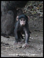 Curious baby Baboon