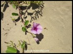 Interesting plantlife on the beach at St. Lucia