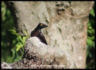 Black-bellied Starling at its nest