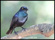Black-bellied Starling