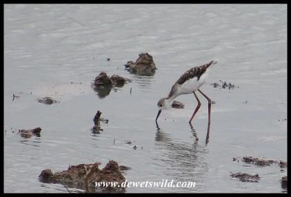 Juvenile Black-winged Stilt at Rooidam