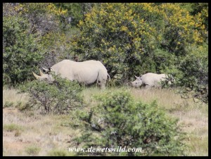 Black Rhinos at Mountain Zebra National Park