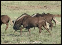 Black Wildebeest (photo by Joubert)