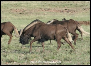 Black Wildebeest (photo by Joubert)