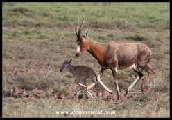 Blesbok ewe and lamb