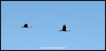 Blue Cranes in flight