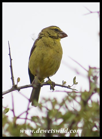 Brimstone Canary