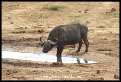 Big old buffalo