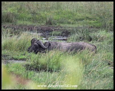 Buffalo wading in deep mud
