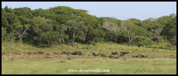 Herd of buffaloes