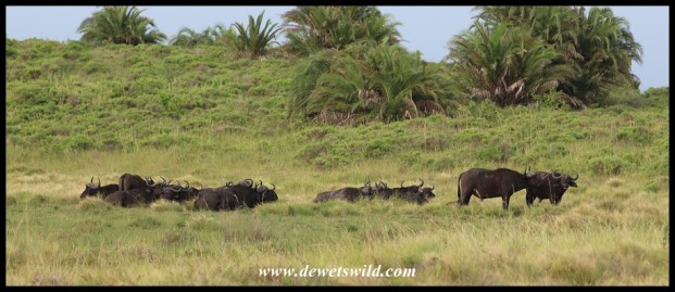 Small herd of buffaloes