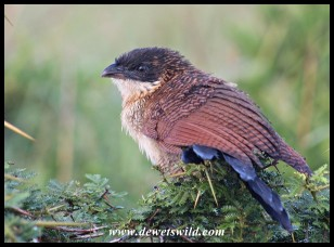 Immature Burchell's Coucal