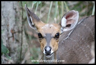 Greying old bushbuck ewe