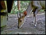Young Bushbuck ram