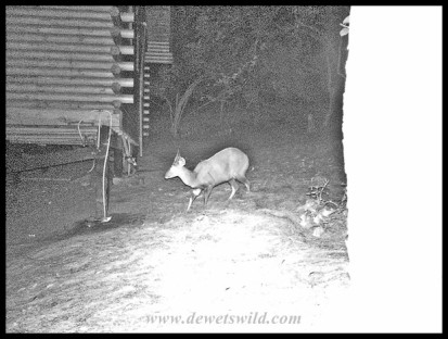 Bushbuck ram outside our cabin in the dark of night